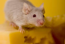 anti souris, anti souris naturel, éloigner les souris,