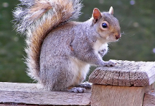éloigner les écureuil, comment éloigner les écureuils,