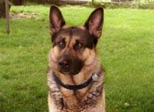 anti aboiement, collier anti aboiement pour chien