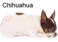 chihuahua a donner