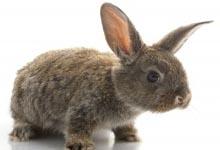 lapin animal compagnie, race de lapins,